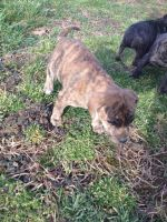 Feist Puppies for sale in Wellston, OH, USA. price: NA