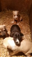 Feist Puppies Photos