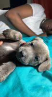 Fell Terrier Puppies Photos