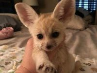 Fennec Fox Animals for sale in Buford, GA, USA. price: NA