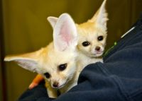 Fennec Fox Animals for sale in Trumbull, CT 06611, USA. price: NA