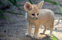 Fennec Fox Animals for sale in NJ-35, Lavallette, NJ 08735, USA. price: NA