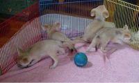 Fennec Fox Animals for sale in Jacksonville, FL, USA. price: NA