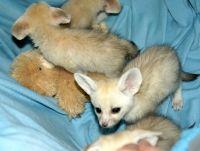 Fennec Fox Animals for sale in Albuquerque, NM, USA. price: NA
