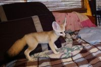 Fennec Fox Animals for sale in Rutland, VT 05701, USA. price: NA