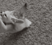 Fennec Fox Animals for sale in California State Route 2, Los Angeles, CA, USA. price: NA