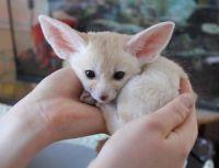 Fennec Fox Animals for sale in Chicago, IL, USA. price: NA