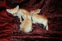 Fennec Fox Animals for sale in San Francisco, CA, USA. price: NA