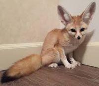 Fennec Fox Animals for sale in TX-121, McKinney, TX, USA. price: NA