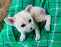 Fennec Fox Animals for sale in Phoenix, AZ, USA. price: NA