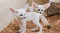 Fennec Fox Animals for sale in Muskegon, MI, USA. price: NA