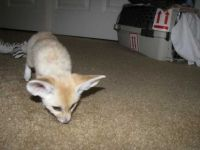 Fennec Fox Animals for sale in Richmond, VA, USA. price: NA