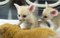 Fennec Fox Animals for sale in Crocker St, Los Angeles, CA, USA. price: NA