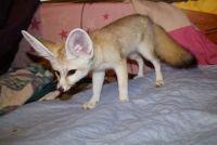 Fennec Fox Animals for sale in Seattle, WA, USA. price: NA