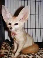 Fennec Fox Animals for sale in Cincinnati, OH, USA. price: NA