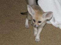 Fennec Fox Animals for sale in Orange Park Ave, Lakeland, FL 33801, USA. price: NA