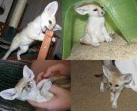Fennec Fox Animals for sale in Charleston, WV, USA. price: NA