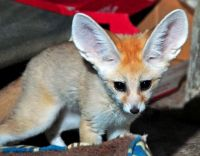 Fennec Fox Animals for sale in 1419 S Westwood Blvd, Los Angeles, CA 90024, USA. price: NA