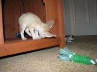 Fennec Fox Animals for sale in Miami, FL, USA. price: NA