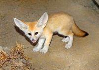 Fennec Fox Animals for sale in Omaha, NE, USA. price: NA