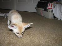 Fennec Fox Animals for sale in Burlington, VT, USA. price: NA