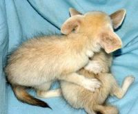 Fennec Fox Animals for sale in Manchester, NH, USA. price: NA