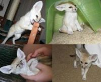 Fennec Fox Animals for sale in Stamford, CT, USA. price: NA