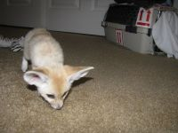 Fennec Fox Animals for sale in Little Rock, AR, USA. price: NA