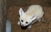 Fennec Fox Animals for sale in Akers Mill Rd SE, Atlanta, GA 30339, USA. price: NA