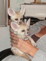 Fennec Fox Animals for sale in UT-210, Alta, UT 84092, USA. price: NA
