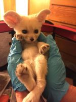 Fennec Fox Animals for sale in Tennessee Ave, Los Angeles, CA 90064, USA. price: NA