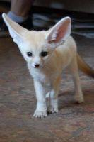 Fennec Fox Animals for sale in 6810 Cypress Creek Pkwy, Houston, TX 77069, USA. price: NA