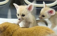 Fennec Fox Animals for sale in 5116 Gate Pkwy, Jacksonville, FL 32256, USA. price: NA