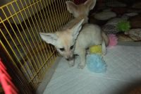Fennec Fox Animals for sale in 2031 Texas Ave, Texas City, TX 77590, USA. price: NA