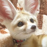 Fennec Fox Animals for sale in Tampa, FL, USA. price: NA