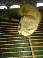 Fennec Fox Animals for sale in 120 Northtown Dr NE, Blaine, MN 55434, USA. price: NA