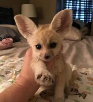 Fennec Fox Animals for sale in 1850 S Hurstbourne Pkwy, Louisville, KY 40220, USA. price: NA