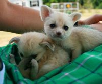 Fennec Fox Animals for sale in California St, San Francisco, CA, USA. price: NA