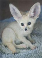 Fennec Fox Animals Photos