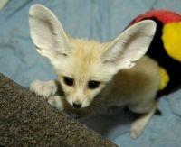 Fennec Fox Animals for sale in 7951 Katy Fwy, Houston, TX 77024, USA. price: NA