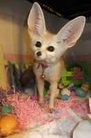 Fennec Fox Animals for sale in 124 N Capitol Ave, Lansing, MI 48933, USA. price: NA