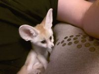 Fennec Fox Animals for sale in 14 Blackstock Rd, Inman, SC 29349, USA. price: NA