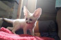Fennec Fox Animals for sale in 1400 Dell Range Blvd, Cheyenne, WY 82009, USA. price: NA