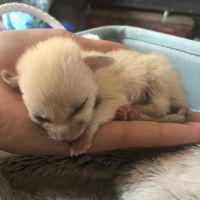Fennec Fox Animals for sale in Madison, WI, USA. price: NA