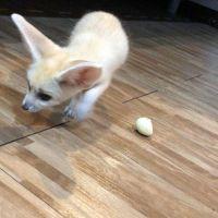 Fennec Fox Animals for sale in Dallas, TX 75206, USA. price: NA