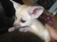Fennec Fox Animals for sale in 69 W 9th St, New York, NY 10011, USA. price: NA