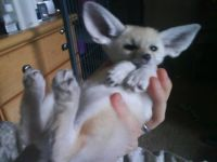 Fennec Fox Animals for sale in Miami, FL 33142, USA. price: NA