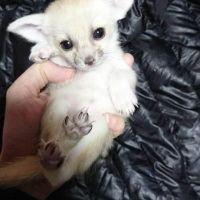 Fennec Fox Animals for sale in 1600 Mapleton Ave, Bismarck, ND 58503, USA. price: NA