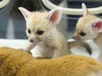 Fennec Fox Animals for sale in 49820 Gorman Post Rd, Gorman, CA 93243, USA. price: NA