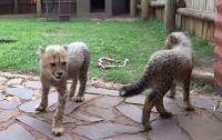 Fennec Fox Animals for sale in Virginia Beach, VA, USA. price: NA
